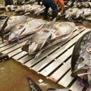 Bluefin Tuna Auction in Tsukiji