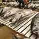 Bluefin Tuna Auction in Tsukiji