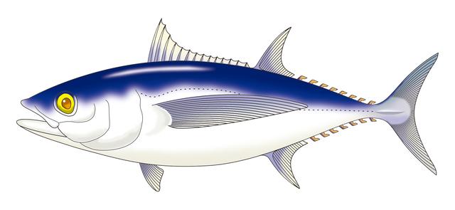 Big eye Mebachi Tuna