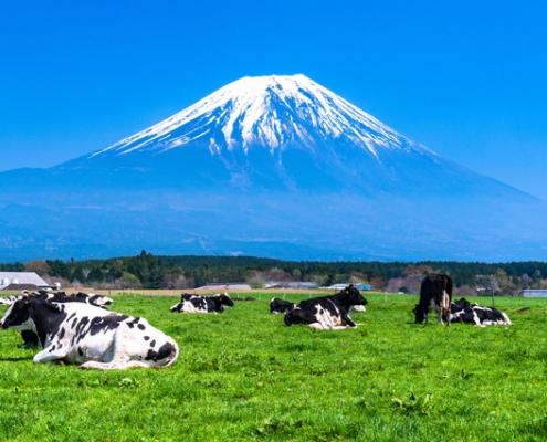Holsteins cows in Japan